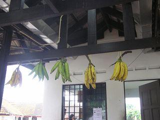 dangling bananas