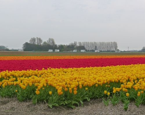 Tulips in april 2012