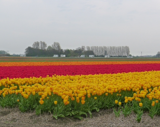 Tulips in april 2
