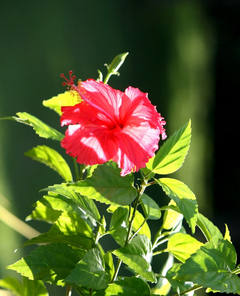 Hibiscus No 2