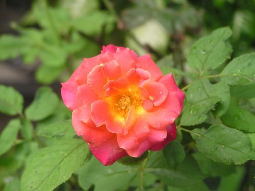 Freshrose