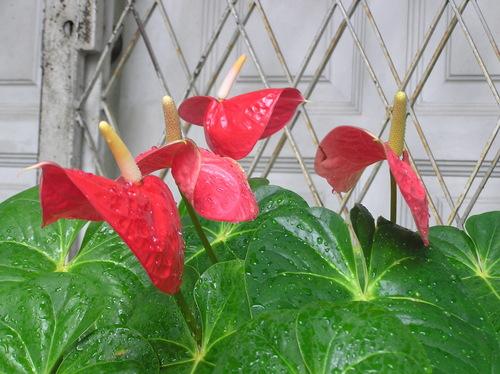 Redlilies1104