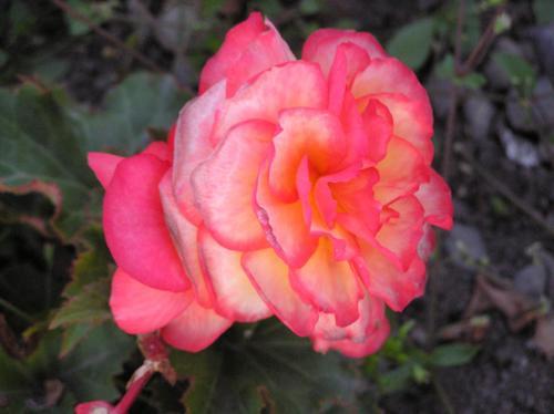 A rose at Lake District
