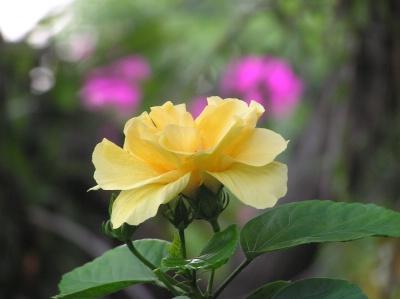 Yellowhibiscus